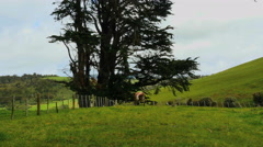 New Zealand Catlins cow walks in enclosed pasture Stock Footage