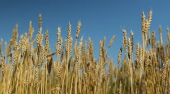 Wheat crop with blue sky. Saskatchewan, Canada. Stock Footage