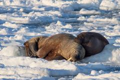 Couple of walruses on the ice - Arctic, Spitsbergen - stock photo