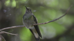 Buff-tailed Coronet hummingbird - stock footage