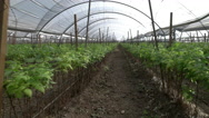 Stock Video Footage of Raspberry Farm Greenhouse Walk-Through
