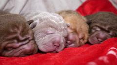 Newborn Shar Pei Dog Pups Resting Stock Footage