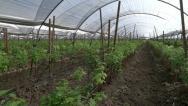 Stock Video Footage of Raspberry Farm Greenhouse Pan
