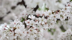 Tree Blossoms In Spring In Richmond, Virginia 4K Stock Footage