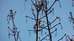 Robin songbird countryside rural blue sky buds spring.mp4 Stock Footage