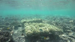 Corals growing in underwater conservation project Stock Footage