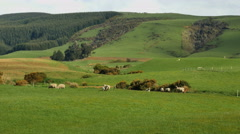 New Zealand Catlins sheep and forest at edge of pasture Stock Footage