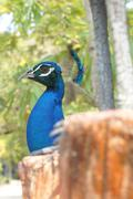 Peacock bird animal freedom cage trees pet concept Stock Photos
