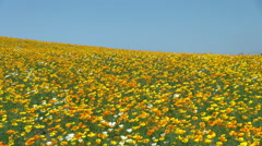 Flower field in Hokkaido, Japan Stock Footage