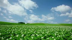 Potato field, Hokkaido, Japan Stock Footage
