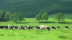 Grazing Cows, Hokkaido, Japan Stock Footage