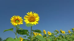 Sunflower field Stock Footage