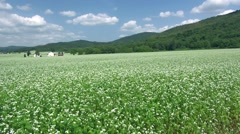 Buckwheat Field, Hokkaido, Japan Stock Footage