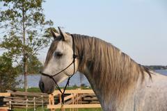 Andalusian stallion closeup Stock Photos