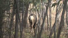 Mature Dominant Mule Deer Buck Performing Rub Urination Stock Footage