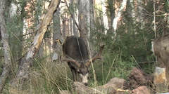 Dominant Mule Deer Buck In Rut Courts Doe & Comes Close-Sharpened Stock Footage