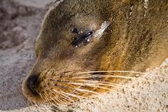 Stock Photo of Closeup portrait of sea lion relaxing in a beach at the Galapagos Islands