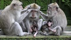 Monkey family at sacred monkey forest. Ubud, Bali, Indonesia - stock footage
