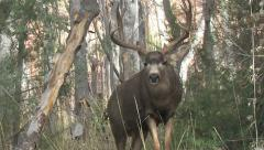 Dominant Mule Deer Buck in Rut Courts Doe & Comes Close - stock footage