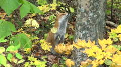 Red Fox in the forest, Hokkaido, Japan Stock Footage