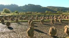 Harvesting rice in Aomori Prefecture, Japan Stock Footage