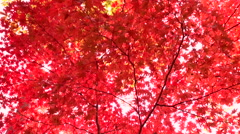 Red maple leaves Stock Footage