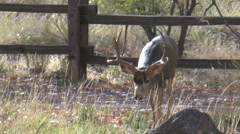 Dominant Courting Buck Approaches Close Stock Footage