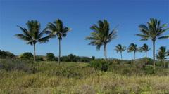 Pan across palm trees in hawaii Stock Footage