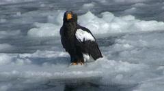 Stellers Sea Eagle, Hokkaido, Japan Stock Footage