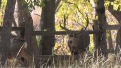 Dominant Mature Mule Deer Buck in Rut Courts Doe Stock Footage
