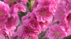 Hana Peach flowers Stock Footage