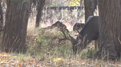 Close Mature Buck Feeds on Newly Fallen Leaves Stock Footage