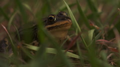 Frog Sitting in Grass Stock Footage