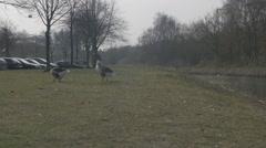 Amsterdam HD suburbs _geese Stock Footage