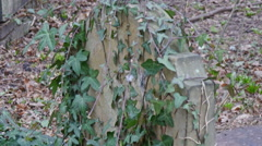 The leaves from the vines in a tombstone Stock Footage