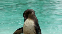 A black spotted penguin after a bath Stock Footage