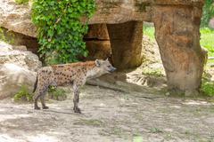 Hyena wandering in zoo Stock Photos