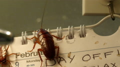 Disgusting brown shiny cockroaches crawling on the calendar - stock footage