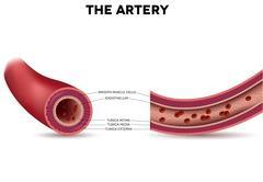 Healthy artery anatomy, artery layers detailed illustration Stock Illustration