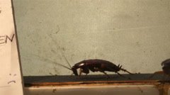 Three dirty cockroaches crawling on the wall Stock Footage