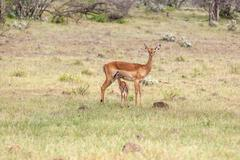 Antelope and her cub on a background of grass Stock Photos