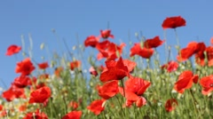 Red poppies with blue sky in the background Stock Footage