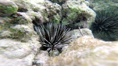 Underwater:  Sea hedgehog (Phylum Echinodermata), close-up Stock Footage