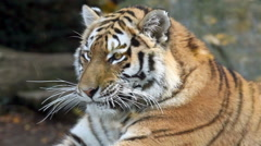 Closeup view of tiger head Stock Footage