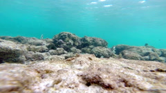Underwater: Beautiful coral at the bottom of the ocean with fish Dascyllus. Stock Footage