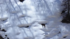 Rupicapra rupicapra, chamois, snow, ice, Stock Footage