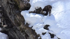 Chamois is finding food  in the  snow, Stock Footage