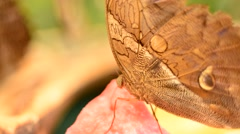 A very short clip of a Morpho butterfly on a piece of water melon. Stock Footage