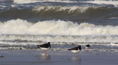 Oystercatcher - at the beach Stock Footage
