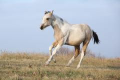 Paint horse foal running in freedom alone - stock photo